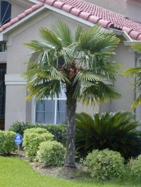 Windmill Palm