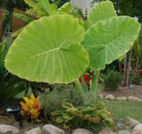 Colocasia Gigantea - Thailand Giant