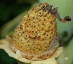 Colocasia Gigantea Seed Pod