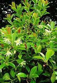 Japanese Anise Tree