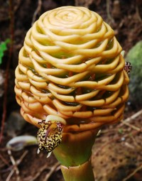 Beehive Ginger