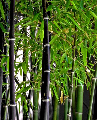 Black bamboo phyllostachys nigra hardy tropicals hardy for Plante bambou exterieur
