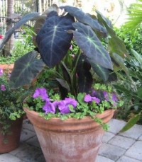 Imperial Taro, Black Beauty