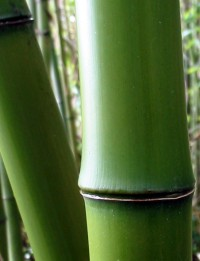 Phyllostachys Bambusoides 'Giant Japanese Timber'