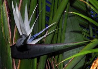 White Bird of Paradise