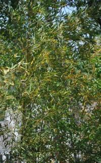 Fishpole Bamboo