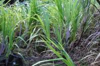 Hardy Sugar Cane