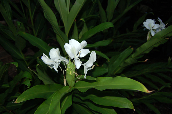 Butterfly ginger white ginger garland lily hedychium coronarium butterly ginger white mightylinksfo