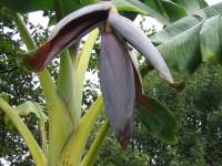 Dwarf Orinoco Banana