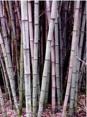 Giant Gray Bamboo, Henon Bamboo