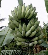 Dwarf Namwah Banana, Pisang Awak