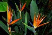 Orange Bird of Paradise Blooms