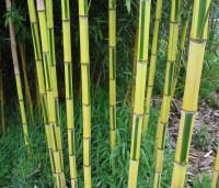 Spectabilis Bamboo