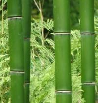 Giant Vivax Bamboo