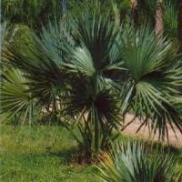Dwarf Palmetto, Bluestem Palmetto, Blue Palm
