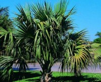 Dwarf Palmetto, Bluestem Palmetto, Blue Palm