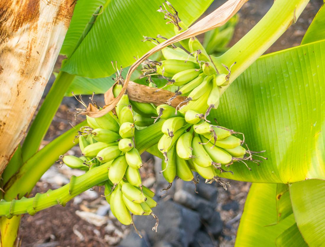 Blue Java Banana Bunch Ripening