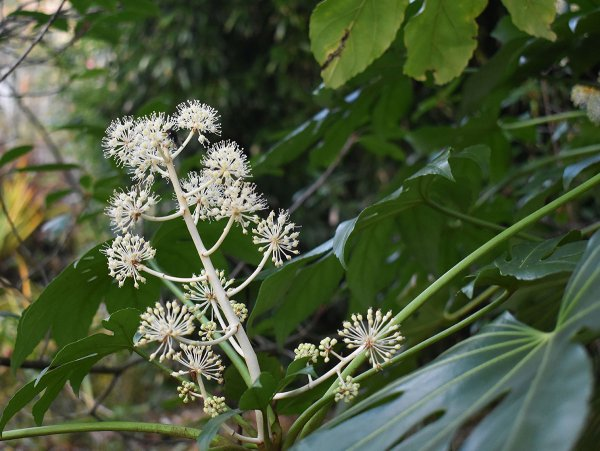 Fatsia Blooming