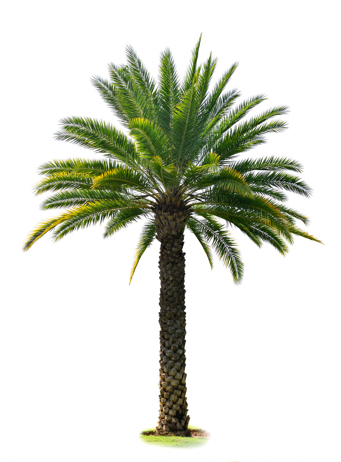 This is How to Prune a Date Palm Tree Image