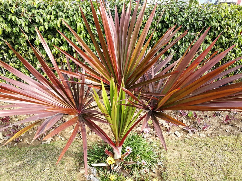 Dwarf Palmetto (Sabal Minor) Image