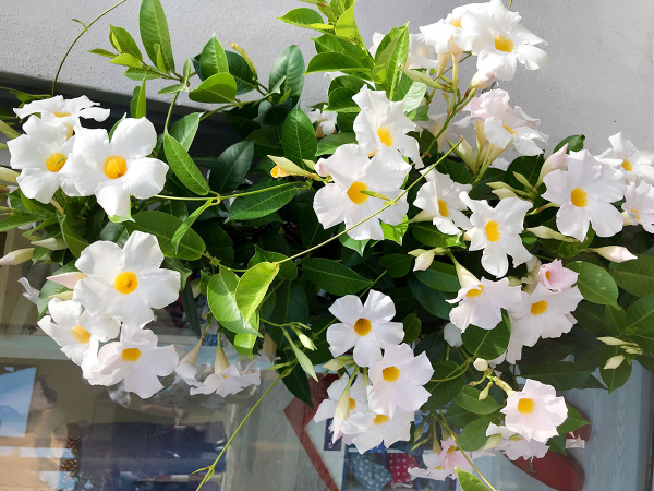 How To Overwinter A Mandevilla Plant Image